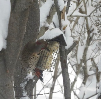 Northern flicker-red-shafted