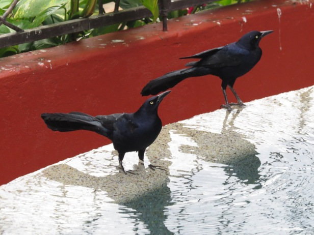 Great-tailed Grackes--2