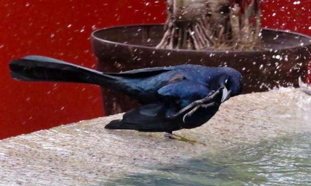Great-tailed Grackle bathing
