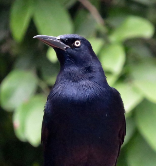 Great-Tailed Grackle close-green leaves