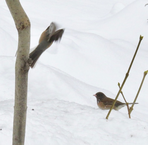 junco flying off