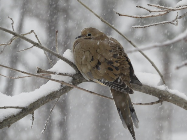 mourning dove - snowstorm