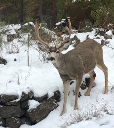 mule deer before storm