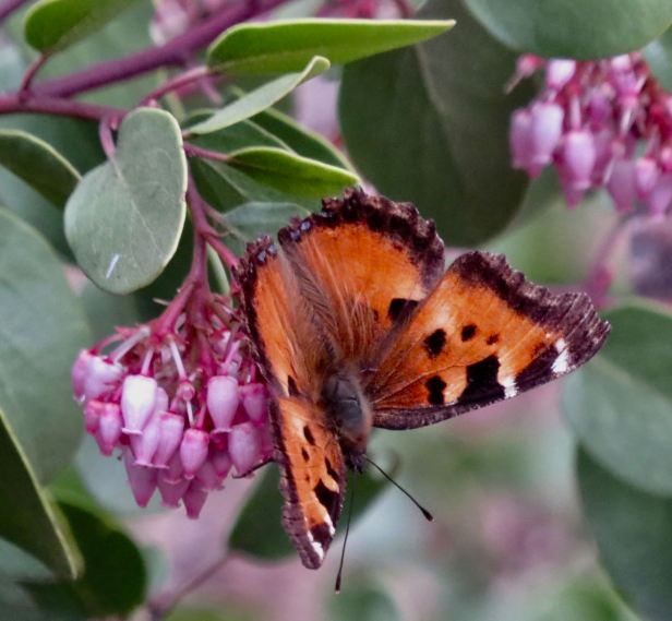 california tortoiseshell on manzanita