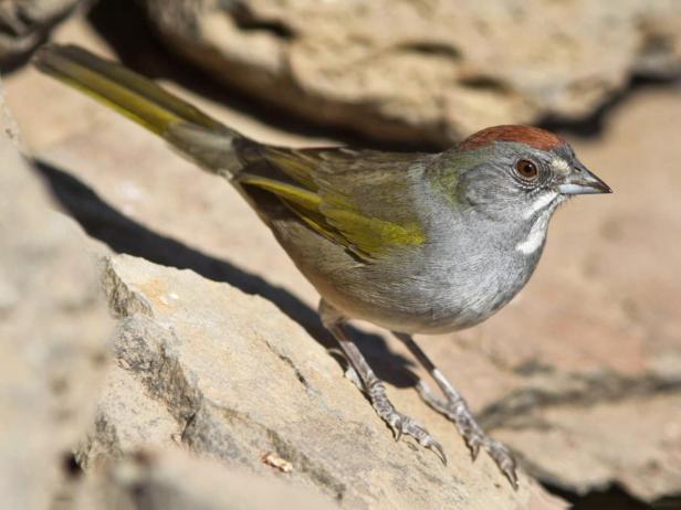 green-tailedtowhee--allaboutbirds