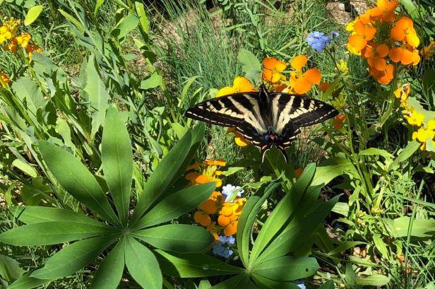 swallowtail in garden 1