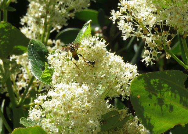 wasp & ant on ceanothus