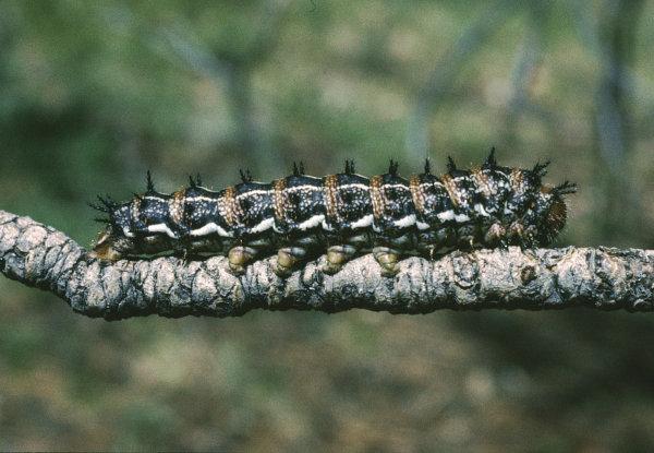 pandoramoth caterpillar
