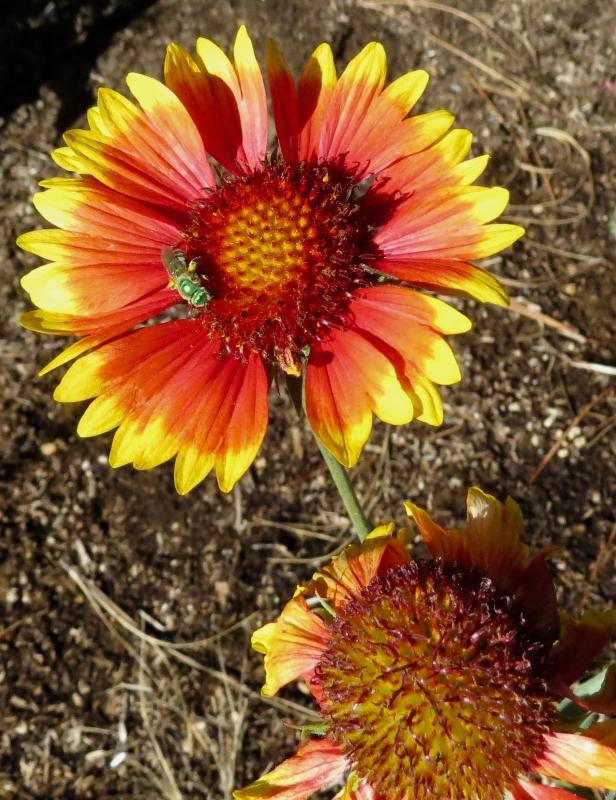 blanketflower with pollinator