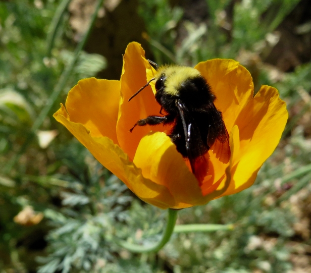 california poppy with bumblebee