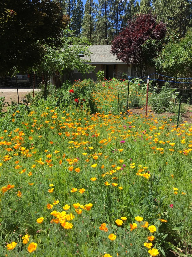Garden of poppies and more