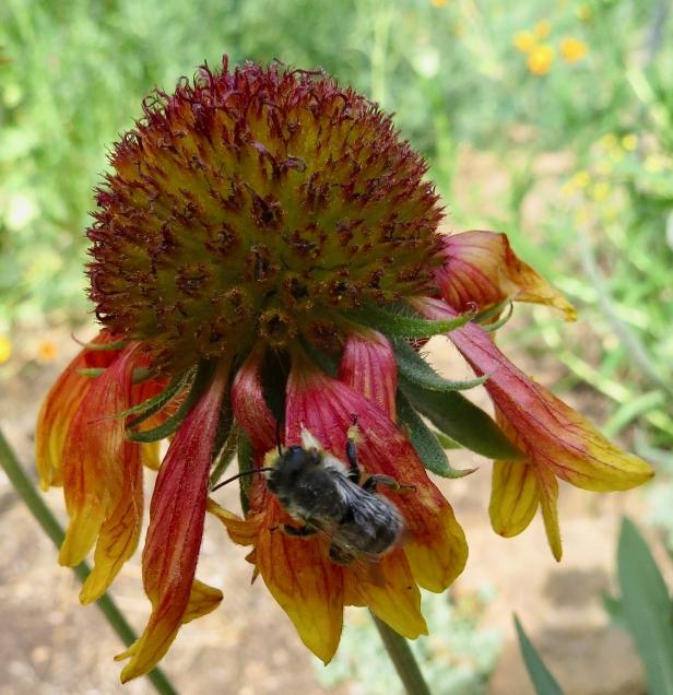 native bee on blanketflower.jpg