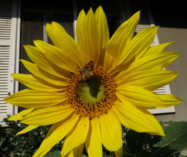 Native sunflower with skipper butterfly