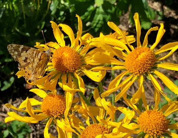 painted lady butterfly on yellow flower