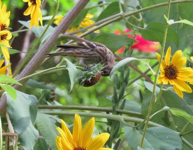 pine siskin on sunflowers-september 2019