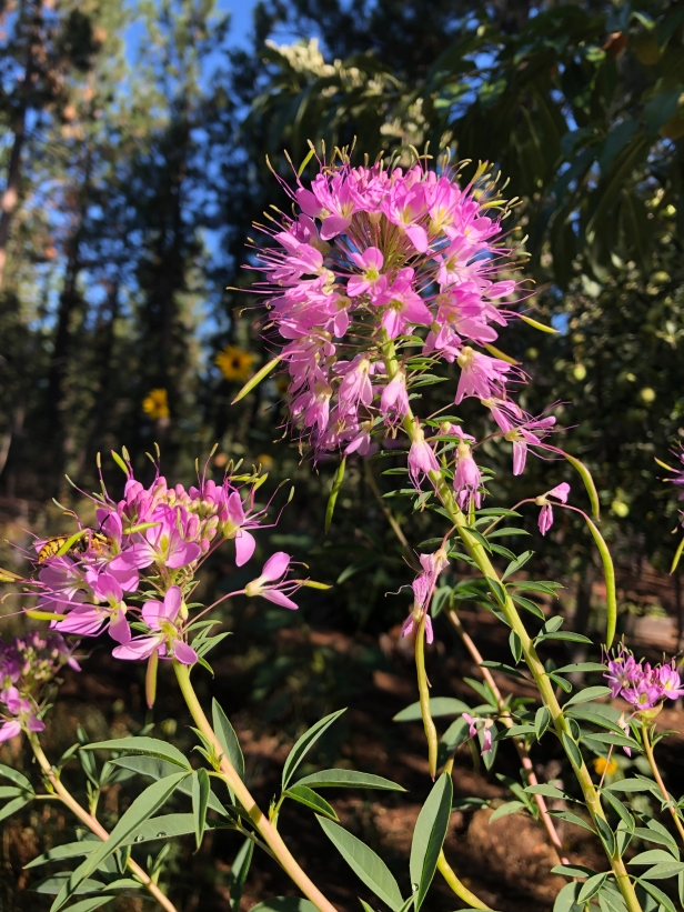 Rocky Mountain Bee Plant with yellow jacket Aug 2019.jpg