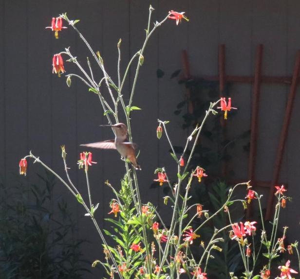 Rufous hummingbird on columbines July 2019