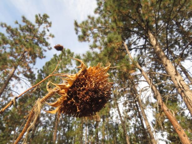 sunflower seedhead with pines