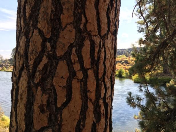 big pine on Deschutes River.jpg