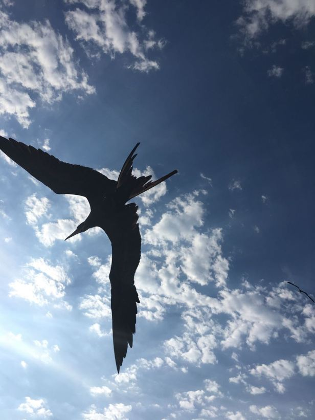 frigatebird in flight