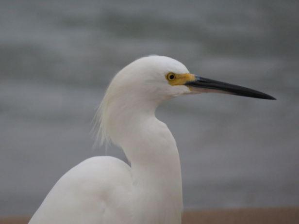 snowy egret head profile