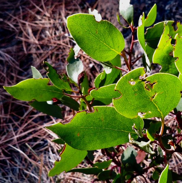 manzanita leaves closeup