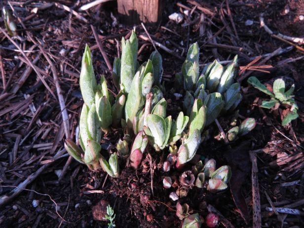 milkweed coming up April