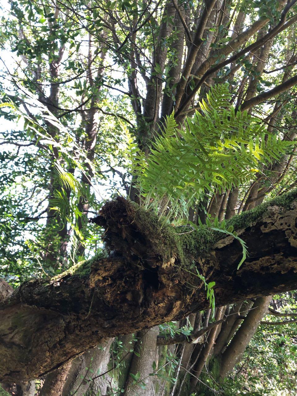 ferns on myrtlewood