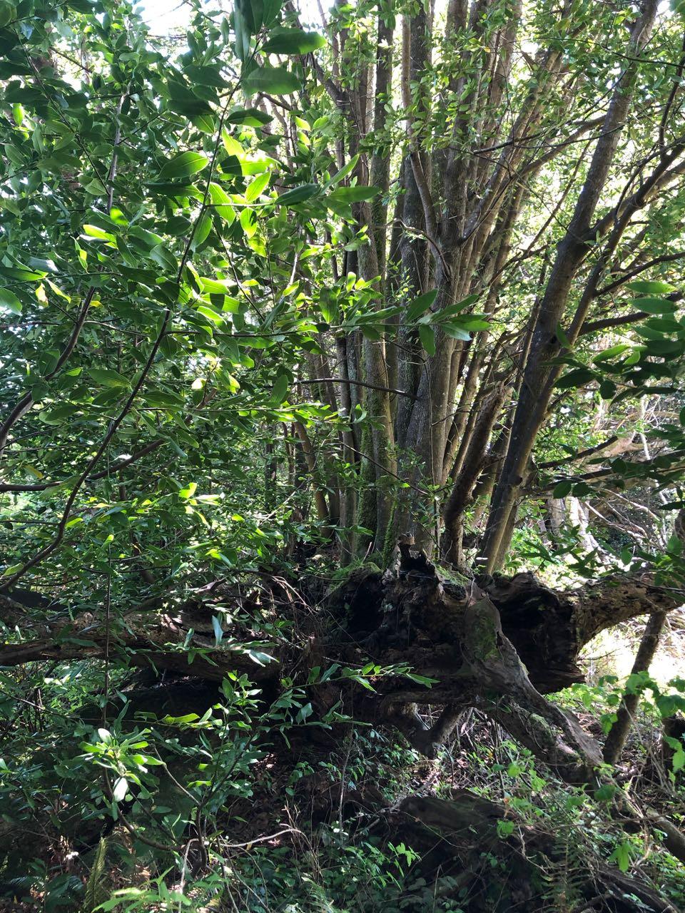 myrtlewood clump growing on nurse log