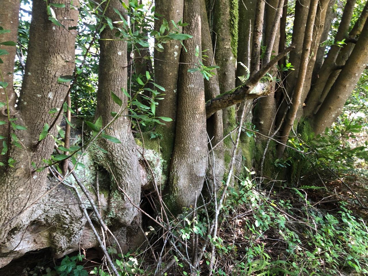 myrtlewood nurse log-2