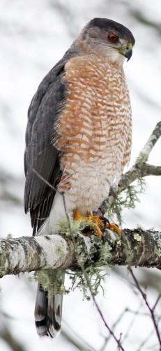 cooper's hawk-cornell (1)