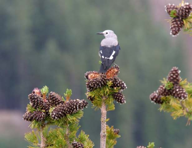 whitebark pine:nutcracker