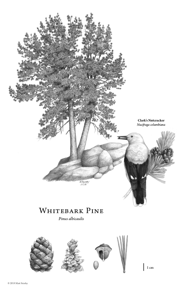 whitebarkpine-illustration