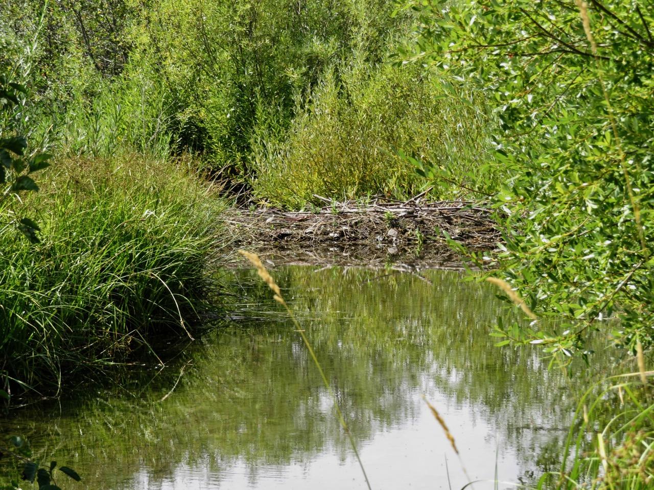 Marks Creek- beaver dam beauty